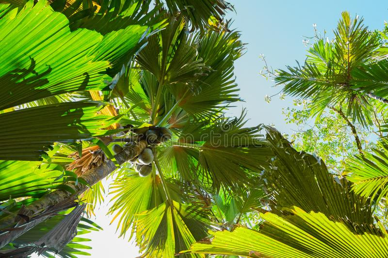 A view from below upwards on the Coco de Mer palm trees. The Vallee De Mai palm forest, Praslin island, Seychelles.  stock photos