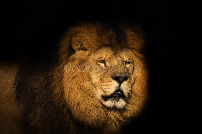 Lion on a black background. View of a Berber Lion with a black background royalty free stock images