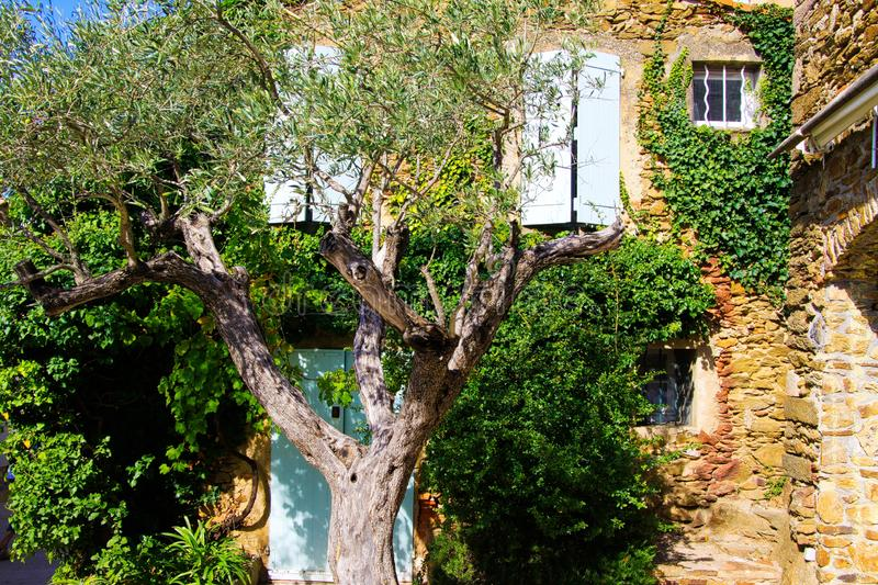 View beyond crown of olive tree on facade of typical French mediterranean stone house covered with ivy with white window shutters royalty free stock photo