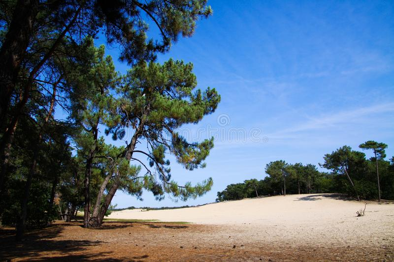 View beyond scotch conifer tree on sand dunes with green forest background - Loonse und Drunense Duinen, Netherlands royalty free stock photo