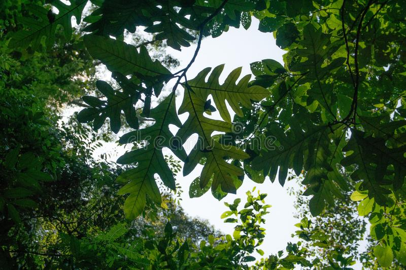 View of big leave from below in rainforest. View of branch from below with big leaves, rainforst vegetation in malaysia stock photo