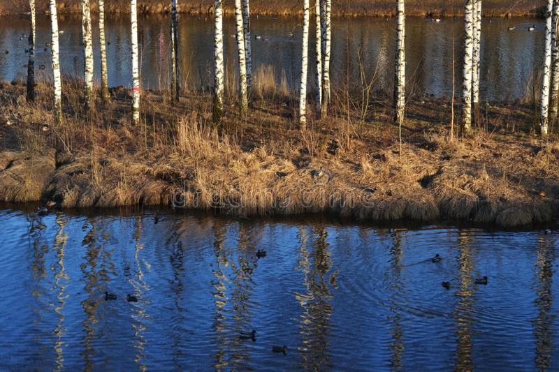 View of the birch trunks on a small island in the pond, a lot of ducks, circles on the blue water and reflection of trees stock photo