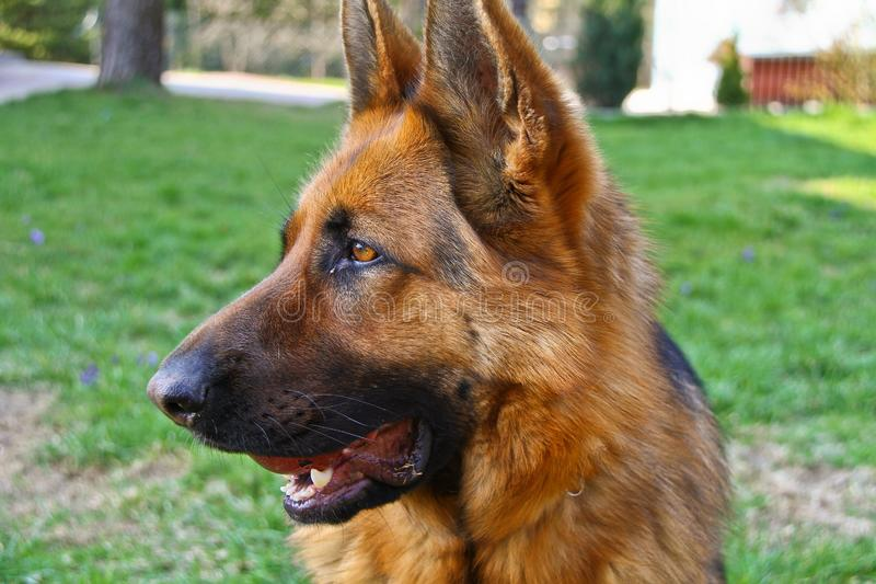 German Shepherd view. This is a view of bitch of german shepherd on the meadow royalty free stock photos