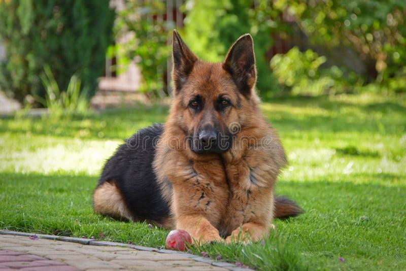 German shepherd view. This is a view of bitch of german shepherd named Sara royalty free stock photo