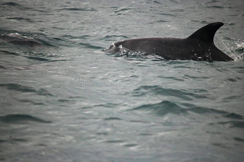 CLOSE VIEW OF BOTTLE NOSE DOLPHIN IN THE OCEAN stock photo
