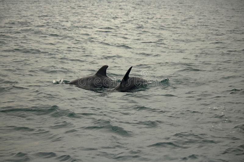 TWO BOTTLE NOSE DOLPHINS PLAYING IN THE SEA stock photos