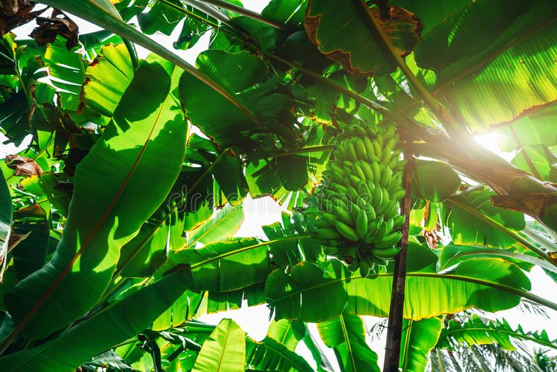 Rainforest with the hand of bananas stock images