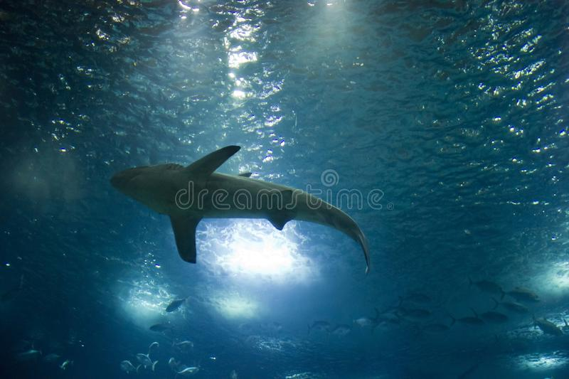 View from the bottom of a shark swimming royalty free stock photography