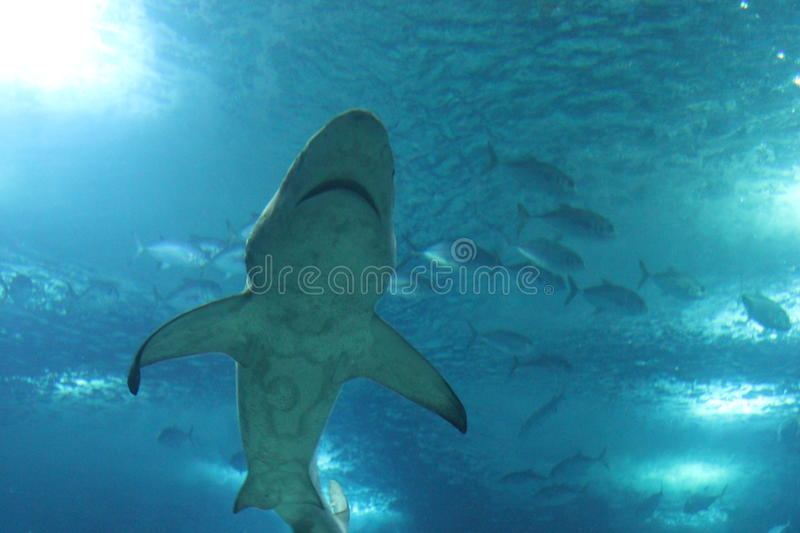 View from the bottom of a shark swimming stock photo