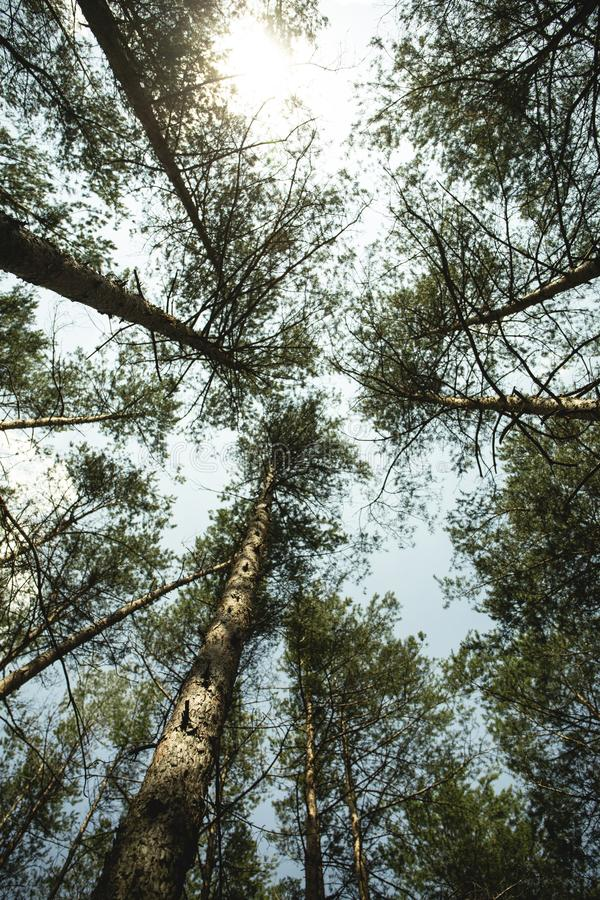 A view from the bottom to the crowns of forest trees and sky. Wa stock photography