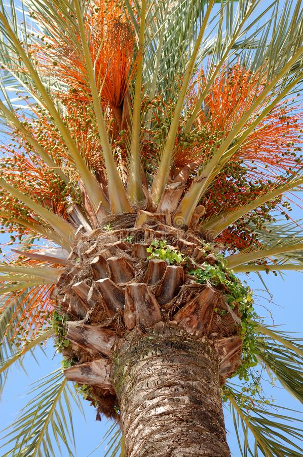 Palm tree against blue skies. View from the bottom up of the crown of a date palm tree against the blue skies royalty free stock images