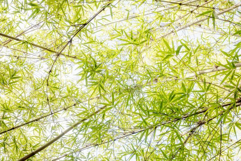 View from bottom up to bamboo leaves, high key. View from bottom up to light green bamboo leaves, high key stock photo