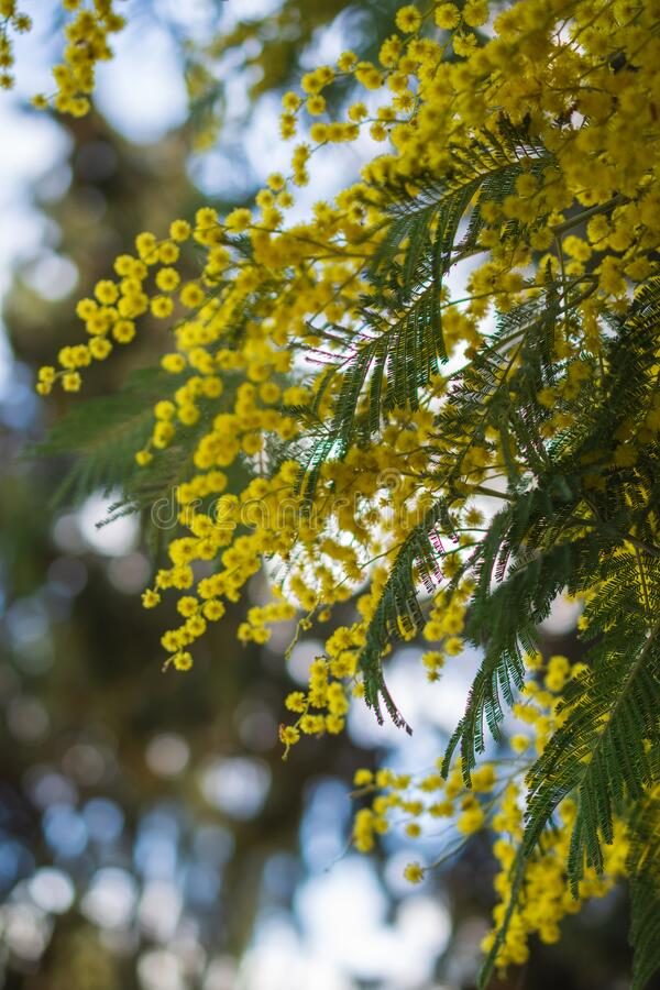 View of branches of yellow mimosa tree, with selective focus, in a park in Madrid. Vertically stock images