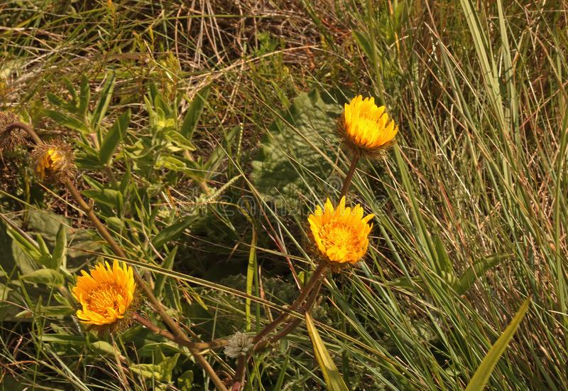 THREE BRIGHT YELLOW WILD FLOWERS IN GRASSLAND OF KWA ZULU-NATAL royalty free stock image