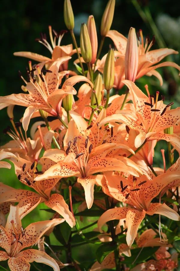 Download View Of The Brown Lilium Tigrinum Stock Image - Image: 34820971