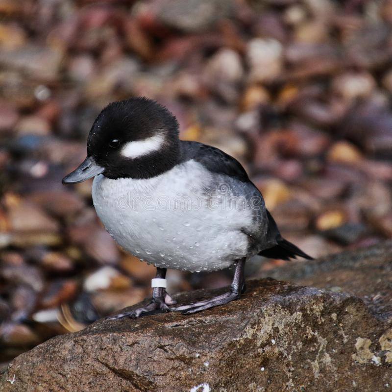 A view of a Bufflehead duck stock images