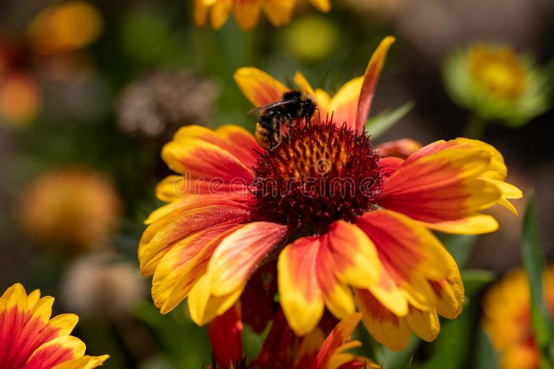 View of bumble bee on the  blanket gaillardia flower in the summer garden stock images