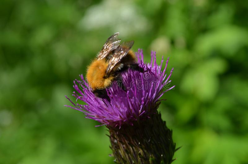 Bumblebee on a thistle flower closeup. View of bumblebee on a thistle flower closeup royalty free stock photography