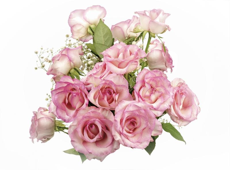 Blooming Pink Roses. View of a bunch of Pink Roses isolated on a white background stock photography