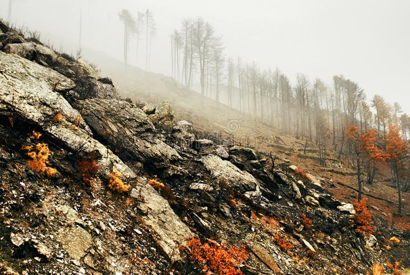 View of burnt pine forest stock photography