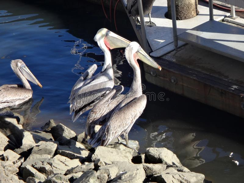 Black Pelicans of Cabo San Lucas, Baja California, Mexico. View of Cabo San Lucas, Baja California, Mexico stock images