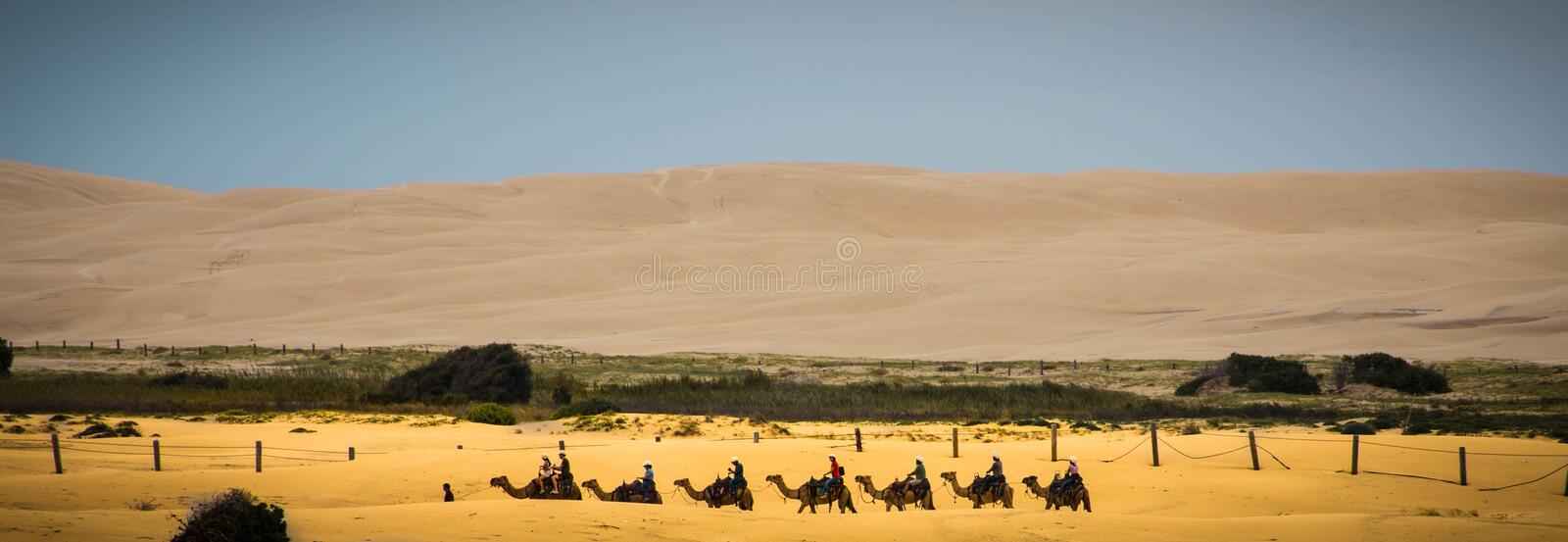 View of camels in desert royalty free stock images