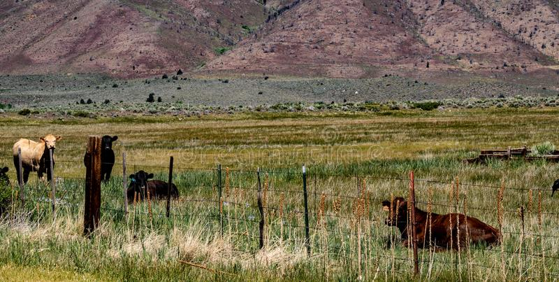 View of Cattle Grazing At The Hunewill Ranch Near Bridgeport, California in late spring stock photos