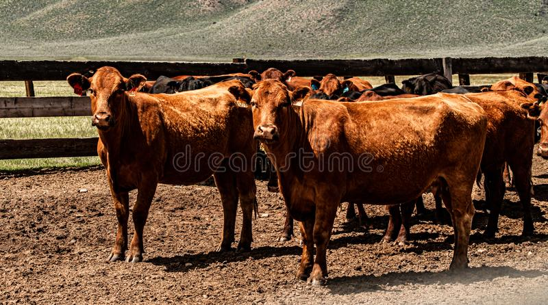 View Of Cattle At The Hunewill Ranch stock photos