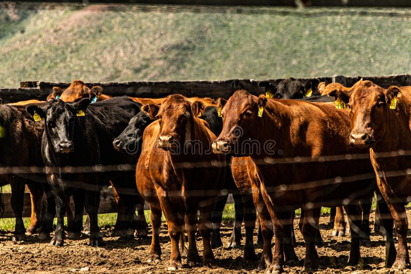 View Of Cattle At The Hunewill Ranch stock photography