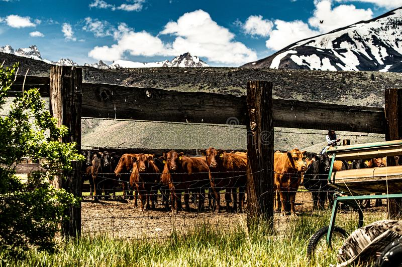 View Of Cattle At The Hunewill Ranch royalty free stock photo