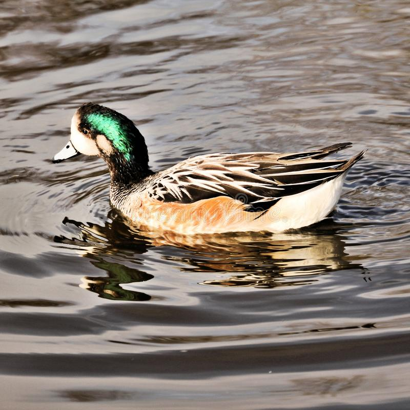 A view of a Chiloe Widgeon royalty free stock photos