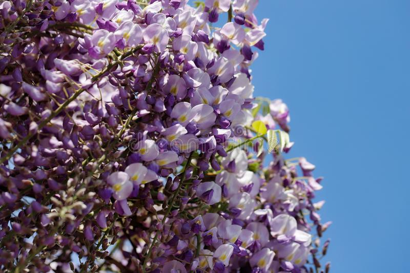 View of chinese wisteria sinensis flowering plants with hanging racemes. Macro photography of nature royalty free stock photography