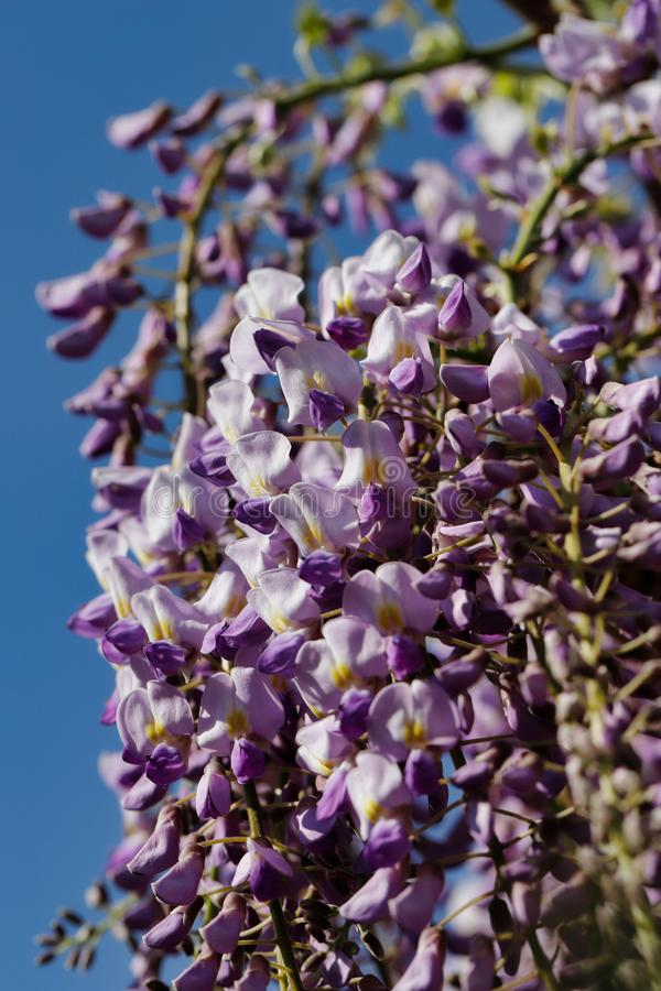 View of chinese wisteria sinensis flowering plants with hanging racemes. Macro photography of nature stock photography