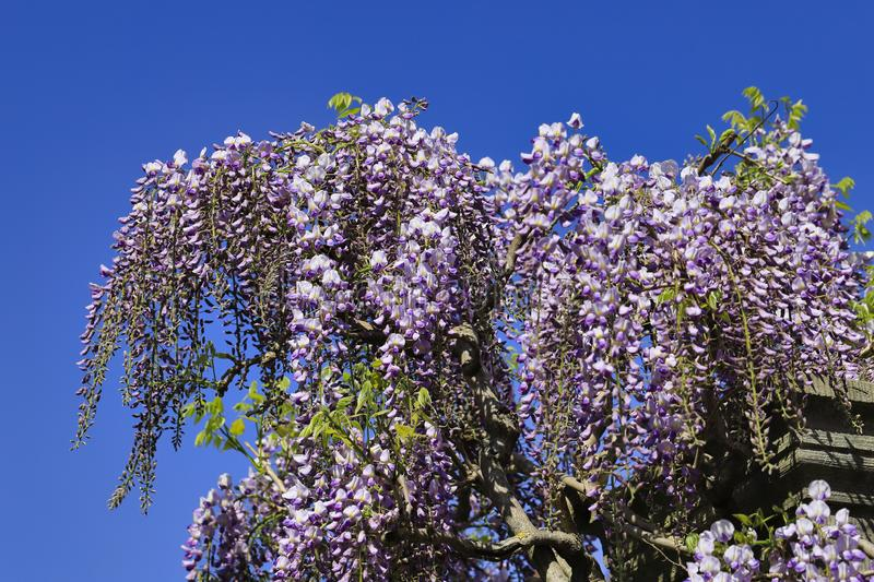 View of chinese wisteria sinensis flowering plants with hanging racemes. Photography of lively Nature royalty free stock photography