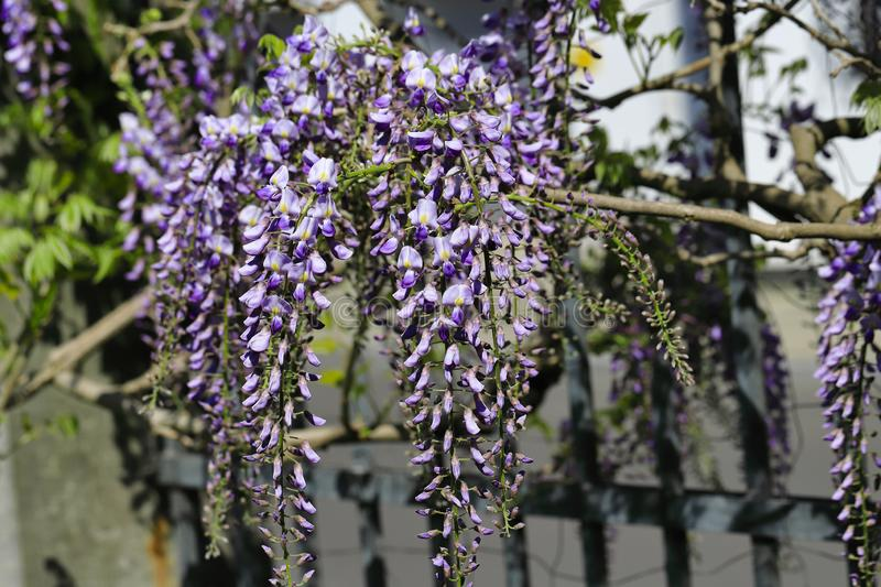 View of chinese wisteria sinensis flowering plants with hanging racemes. Photography of lively Nature stock images