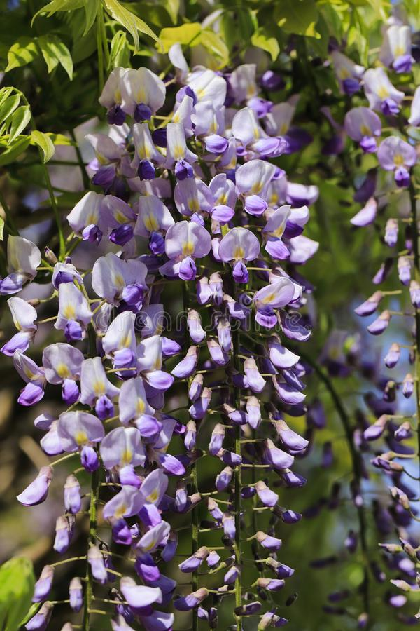 View of chinese wisteria sinensis flowering plants with hanging racemes. Photography of lively Nature stock image