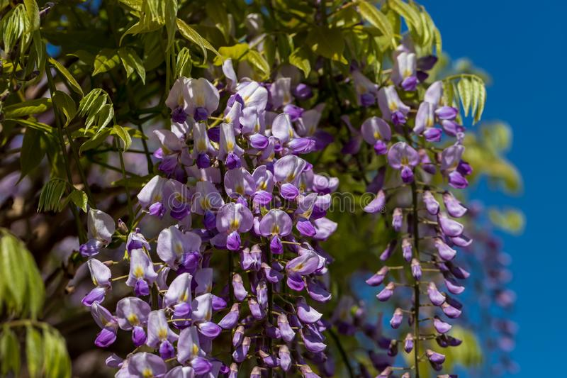 View of chinese wisteria sinensis flowering plants with hanging racemes. Photography of lively Nature royalty free stock images