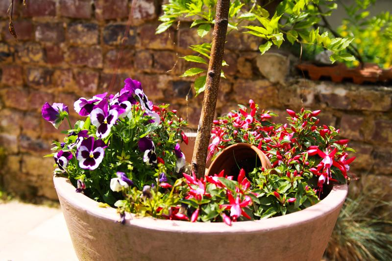 View on clay pot with small birch tree and pansies flowers on terrace of german garden with weathered old brick wall background in stock image