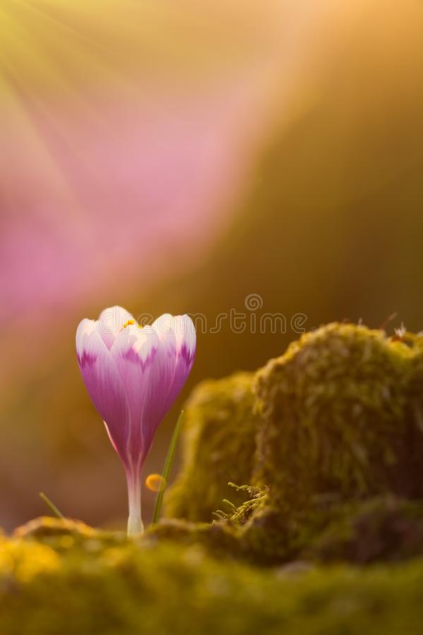 View of close-up magic blooming spring flowers crocus in amazing sunlight. Beautiful spring. Beautiful nature landscape. Magic nat stock photography