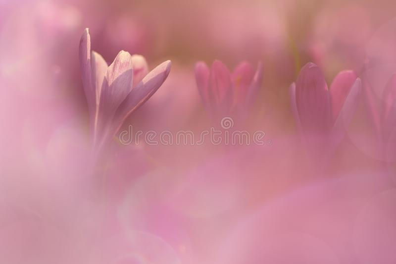 View of close-up magic blooming spring flowers crocus in amazing sunlight. Beautiful spring. Beautiful nature landscape. Magic stock photo