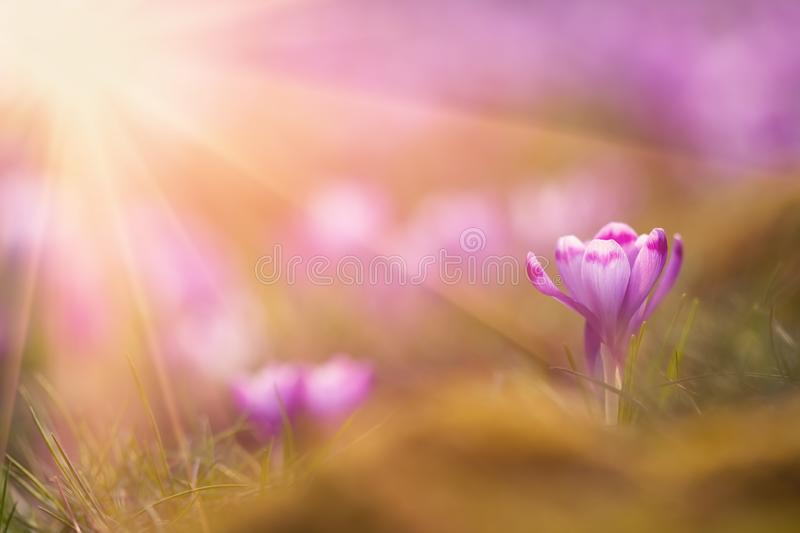 View of close-up magic blooming spring flowers crocus in amazing sunlight. Beautiful spring. Beautiful nature landscape stock photography