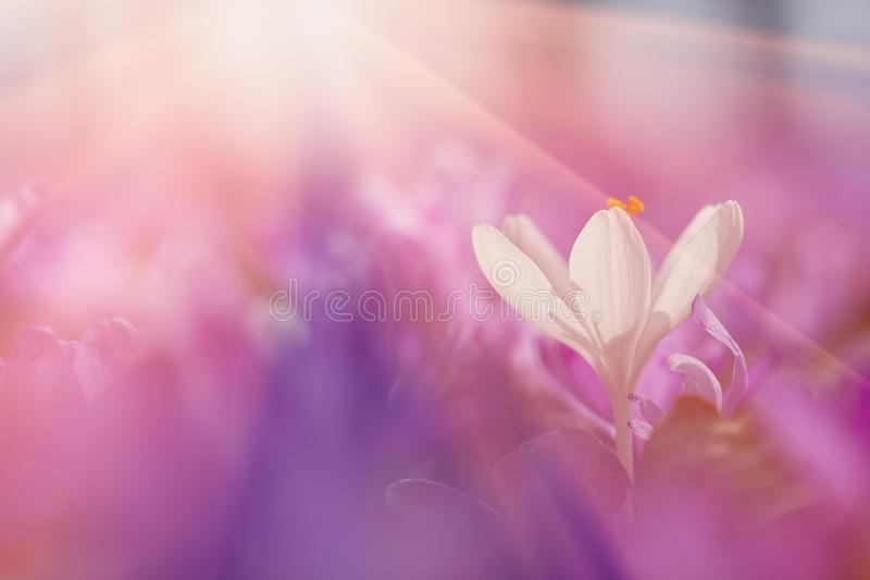 View of close-up magic blooming spring flowers crocus in amazing sunlight. Beautiful spring. Beautiful nature landscape. Magic royalty free stock image