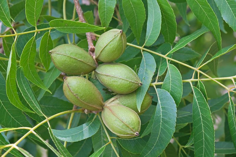 CLUSTERS OF PECAN NUTS ON A TREE royalty free stock photo
