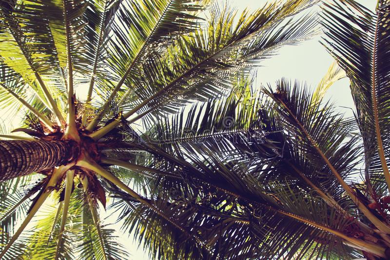 The view on the coconut palm trees on a background of a blue sky. Toned photo. royalty free stock photo