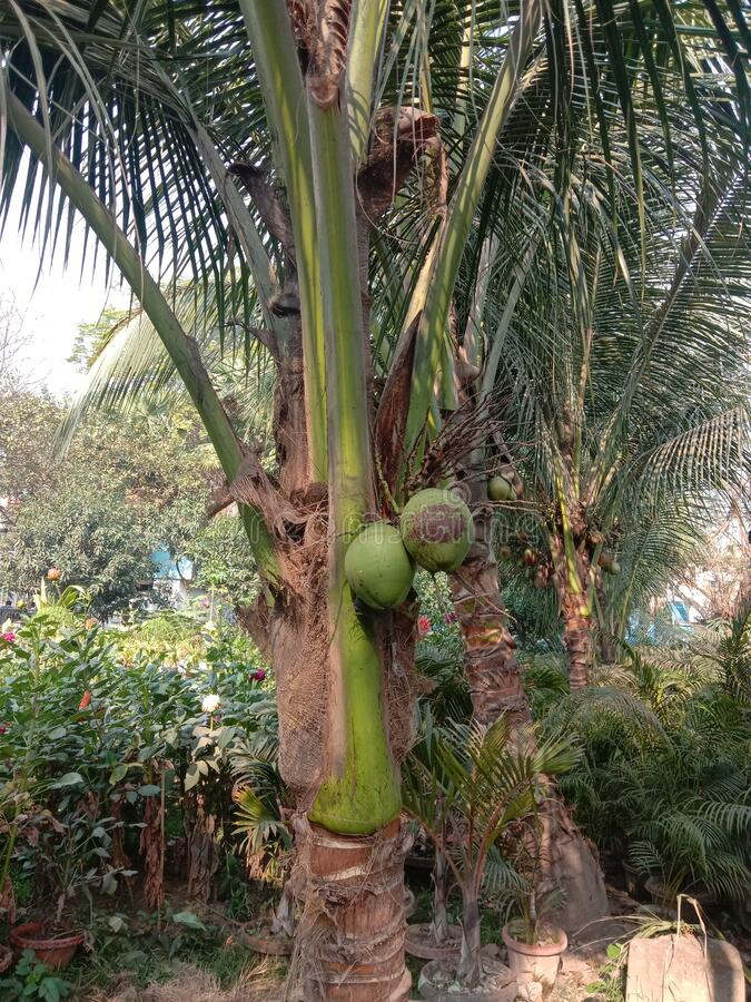 View of coconut plants in a park of saras sadan auditorium Howrah India royalty free stock photos