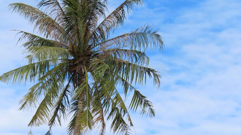 The view of coconut tree. Beautiful blue skies as background stock image