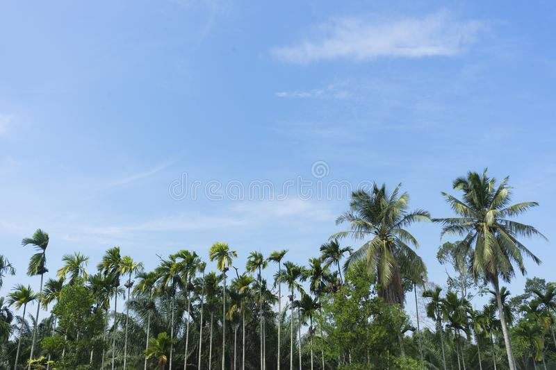 View of coconut trees on the roadside stock photography