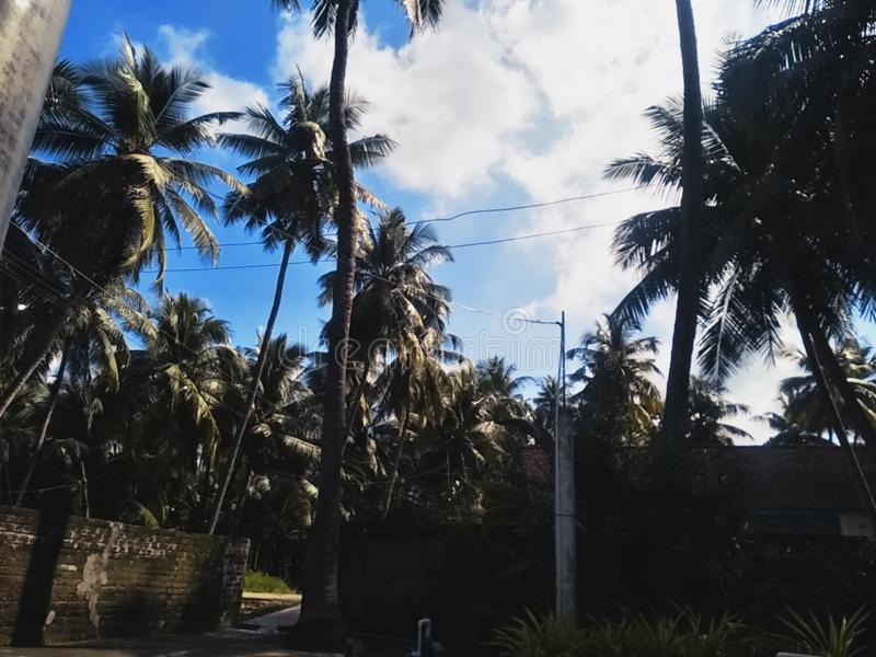 View of coconut tress, nature, sky. View of coconut tress,nature,sky. Of coconut tress,nature,sky. of .  of   , , , , , , tressnaturesky royalty free stock image