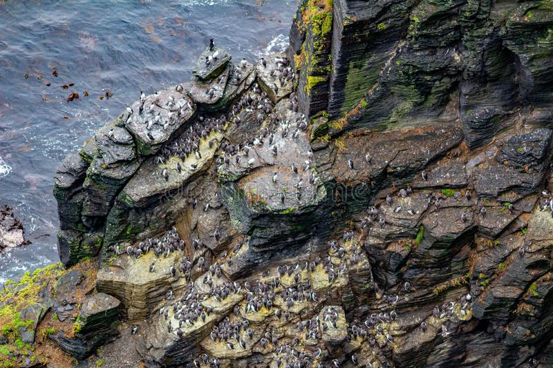 View of a colony of common Guillemot or common Murre birds on the rocks. In the coastal walk route from Doolin to the Cliffs of Moher, geosites and geopark stock photos