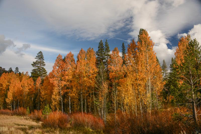 Colorful Aspens in Hope Valley. A view of a colorful group of aspen trees in Hope Valley, California on a beautiful fall afternoon royalty free stock image